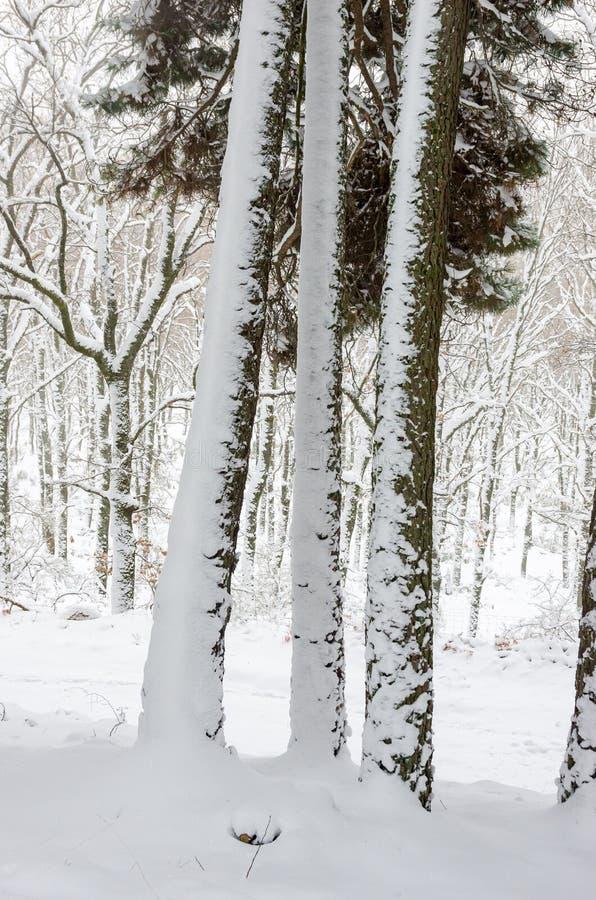 Tre stammar av sörjer trädet som täckas delvist av snö royaltyfri bild