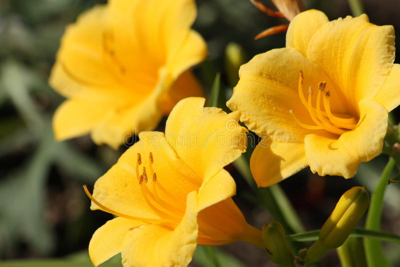 Tre Stella de Oro Flowers i blom arkivbilder