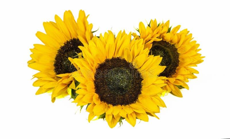 Tre stora gula solrosor som isoleras på vit bakgrund Sen sommar och Autumn Flowers arkivfoto