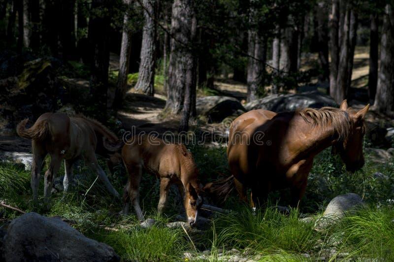 Tre stora hästar i skogen fotografering för bildbyråer