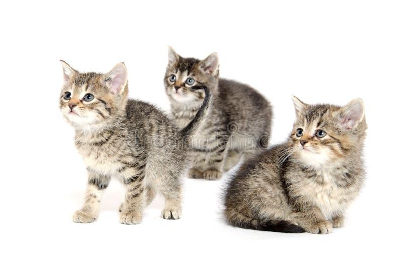 Tre strimmig kattkattungar royaltyfria bilder