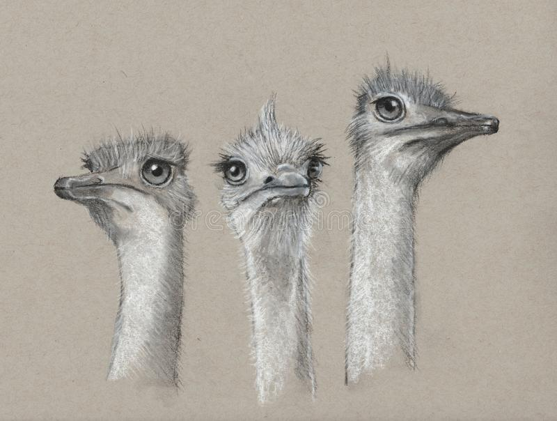 Tre strutsar, kolkonst, gulliga Lång-hånglade fåglar arkivfoton