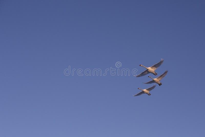 Tre svanar som flyger i himlen arkivfoto