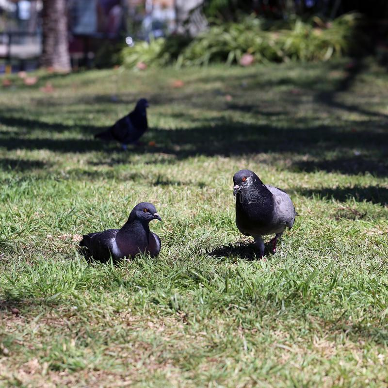 Tre svarta duvor på en äng i madeira royaltyfri foto