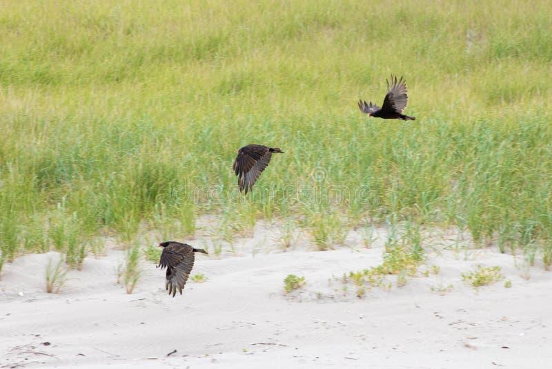 Tre svarta Ravens som flyger på stranden royaltyfri bild