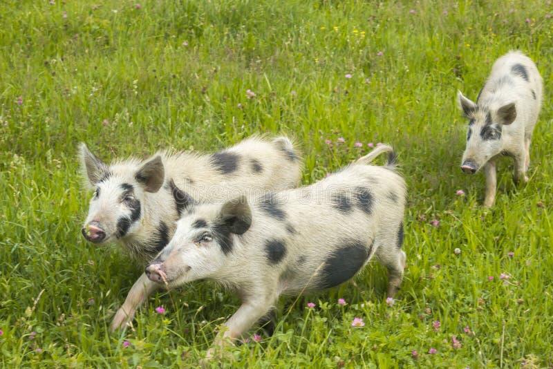 Tre svin i en äng arkivbild