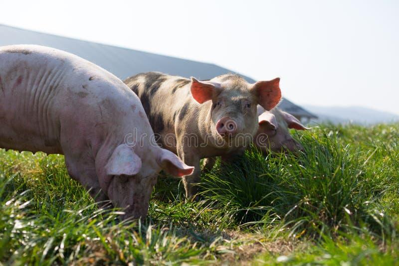 Tre svin i gräs royaltyfri bild