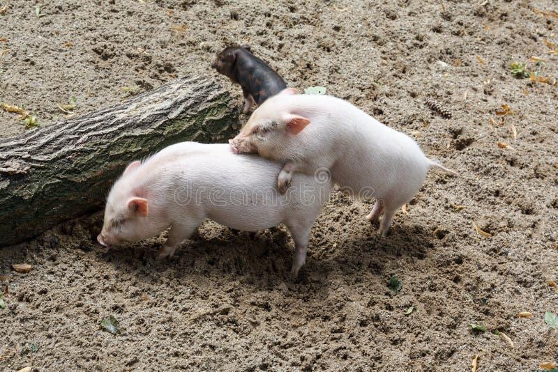 Tre svin som har någon gyckel arkivfoton