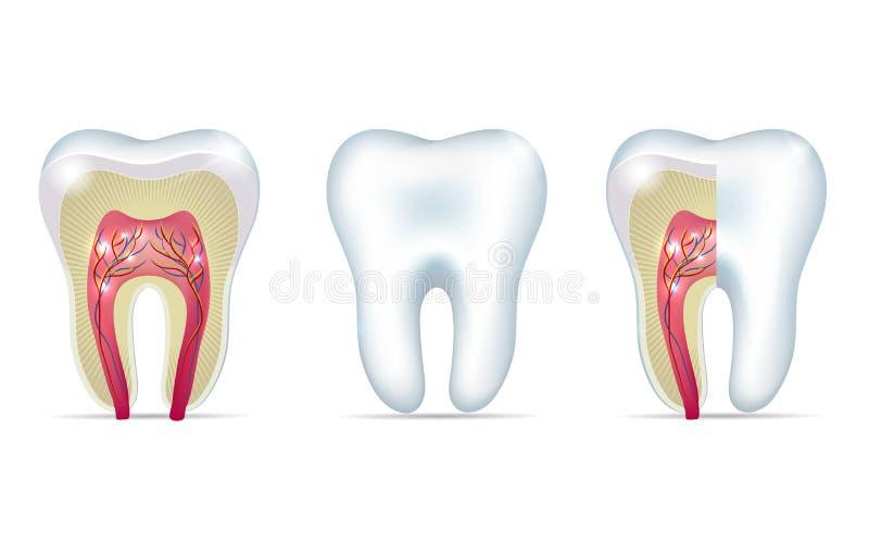 Tre tandanatomiillustrationer stock illustrationer