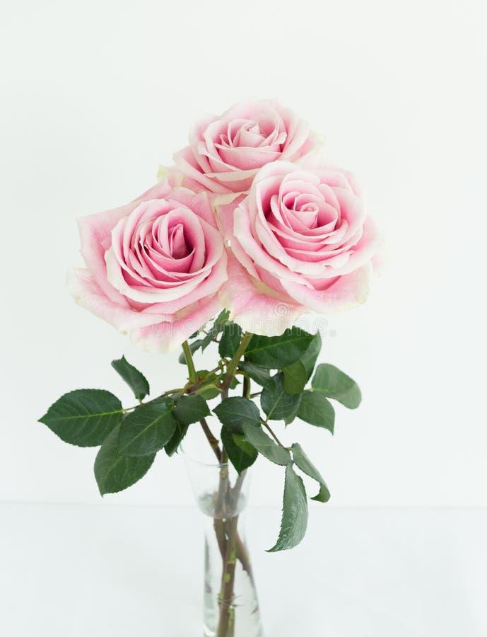 Tre tean rosa och vita rosor tillsammans arkivbild