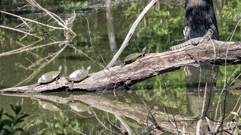 Tre Texas River Cooter Turtles och en Diamondbackvattenorm som värma sig i solen arkivbilder
