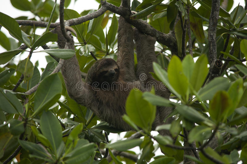 Tre-toed sengångare, Panama royaltyfri bild
