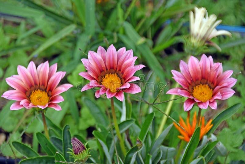 Tre trädgårds- blommor i rött och rosa färger färgar på grön bakgrund royaltyfri foto