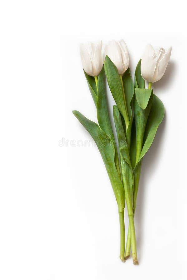 Tulipani bianchi fotografia stock libera da diritti