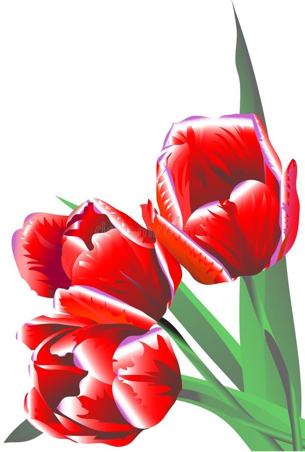 Tre tulipani dei fiori del claret illustrazione di stock
