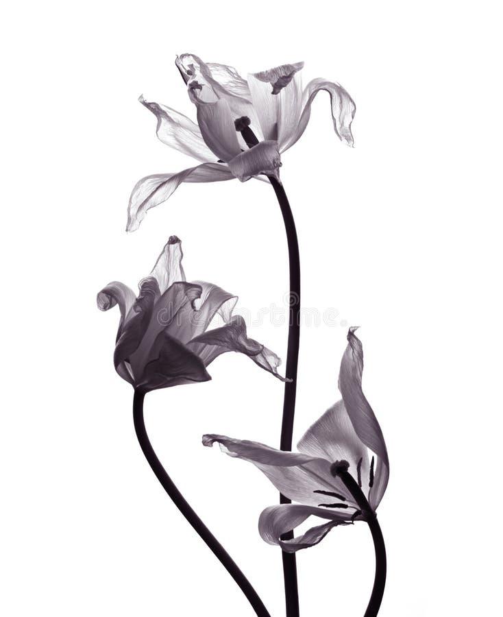 Tre tulipani tranparent su fondo bianco immagini stock libere da diritti