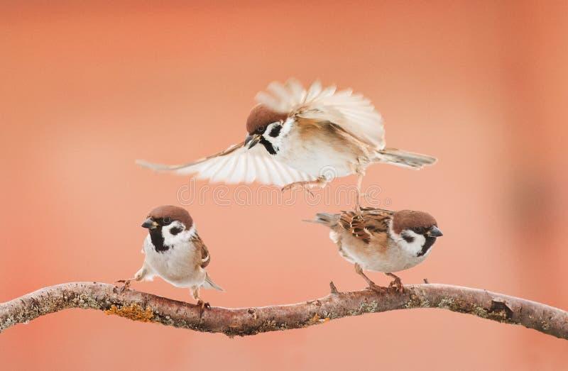 Tre uccelli arrabbiati che discutono su un ramo nel giorno soleggiato fotografia stock libera da diritti
