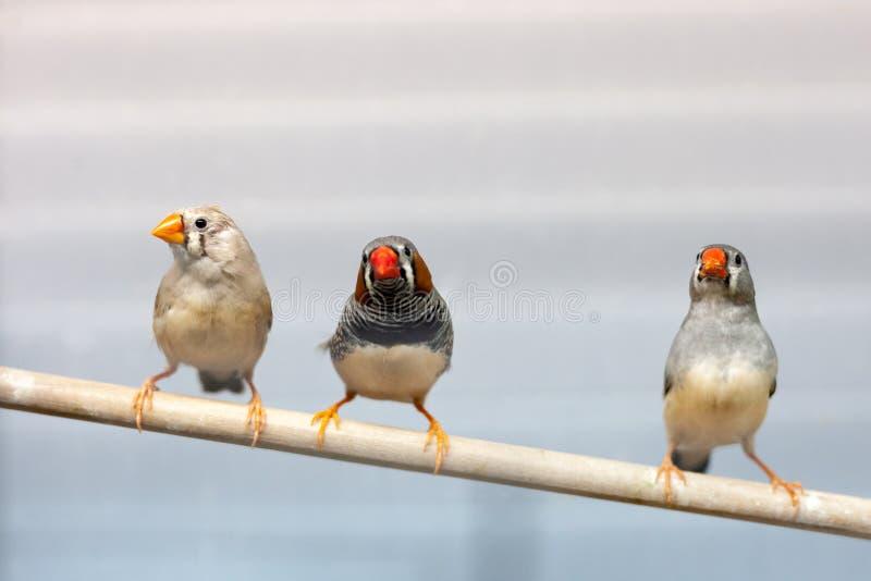 Tre uccelli del fringillide al ramo uccelli domestici variopinti adorabili degli animali domestici immagine stock