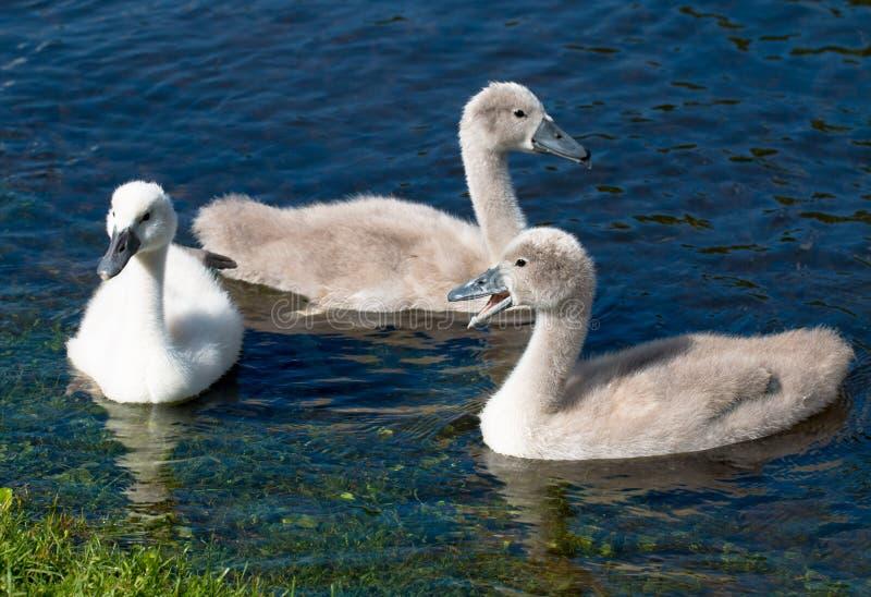 Tre unga unga svanar av simning för stum svan i en sjö royaltyfria foton