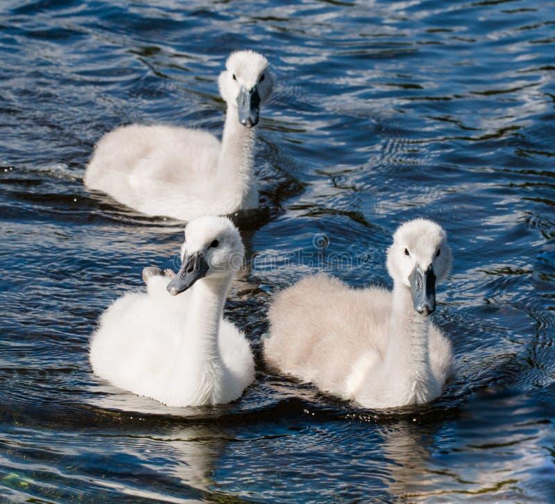 Tre unga unga svanar av simning för stum svan i en sjö royaltyfri fotografi
