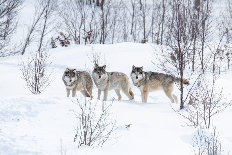 Tre varger i snön arkivbilder