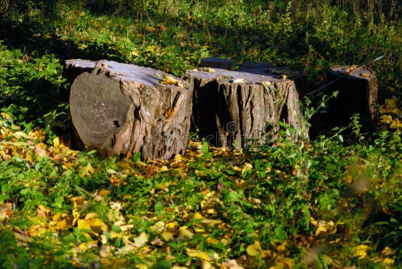 Tre vecchi ceppi in foglie cadute fotografie stock