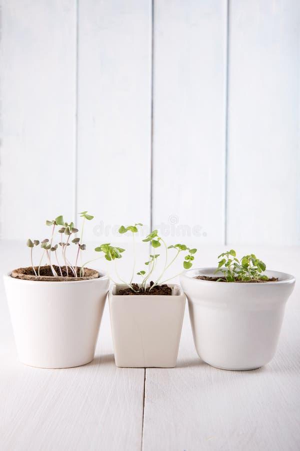 Tre vita blomkrukor med små gröna groddar av basilika och mintkaramellen arkivbilder