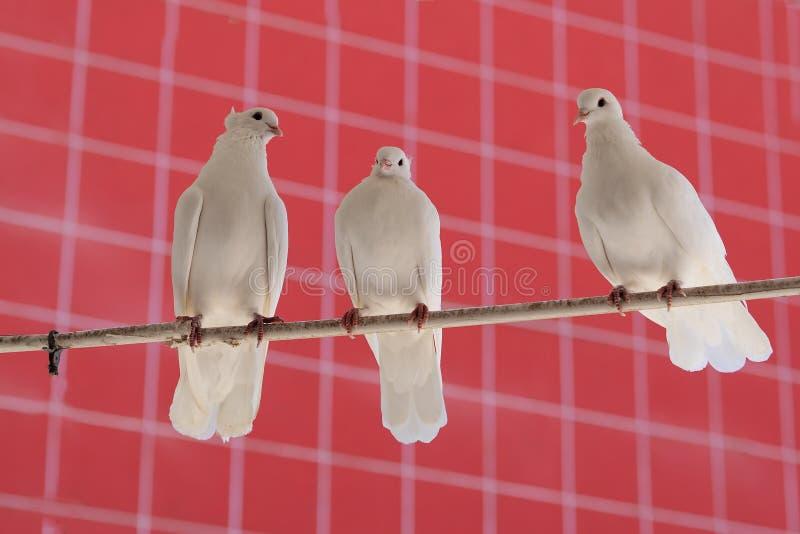 Tre vita härliga duvor royaltyfria foton