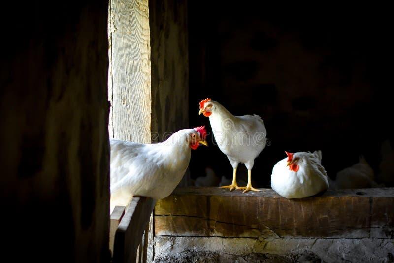 Tre vita hönor som står i ladugård royaltyfri bild
