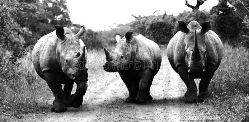 Tre vita noshörningar royaltyfri bild