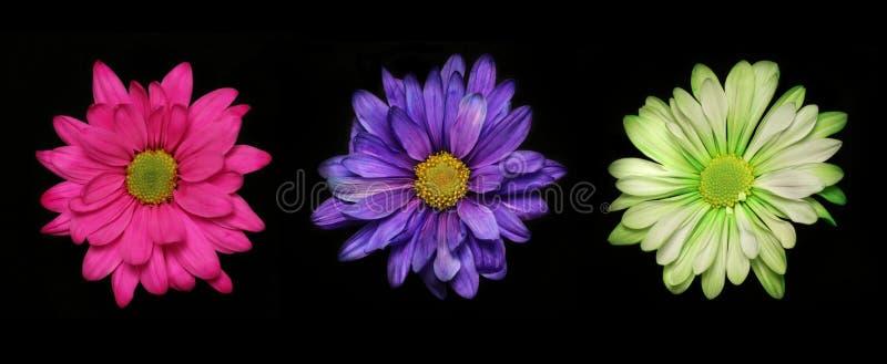 Tre volte fiori fotografia stock libera da diritti