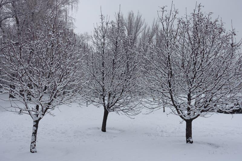 Tre whitebeamträd som täckas med insnöad vinter arkivfoto