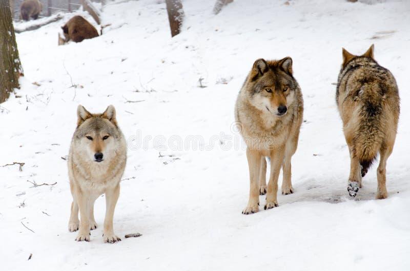 Tre wolves royaltyfri fotografi