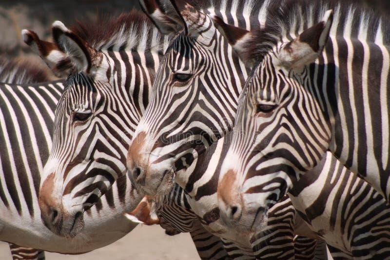 Tre zebre fotografie stock libere da diritti