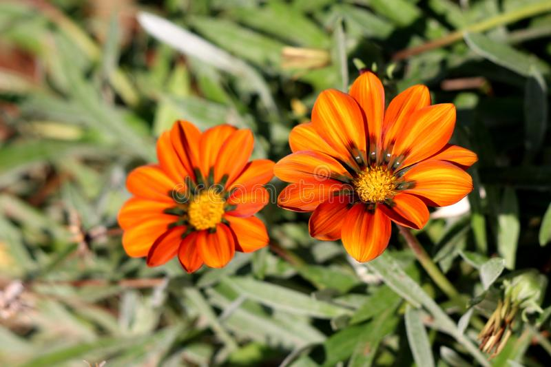 Treasure flower or Gazania rigens plants with flower heads consisting of orange to yellow petals on dark leaves background. Treasure flower or Gazania rigens royalty free stock images