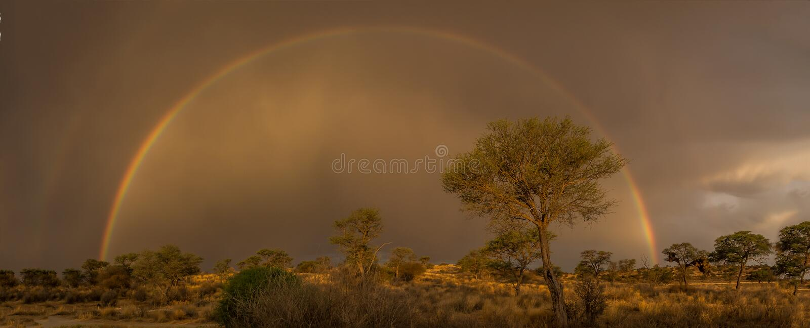 Treasure at the rainbow?. Full rainbow over a thorn tree in the Kgalagadi Transfrontier Park stock images
