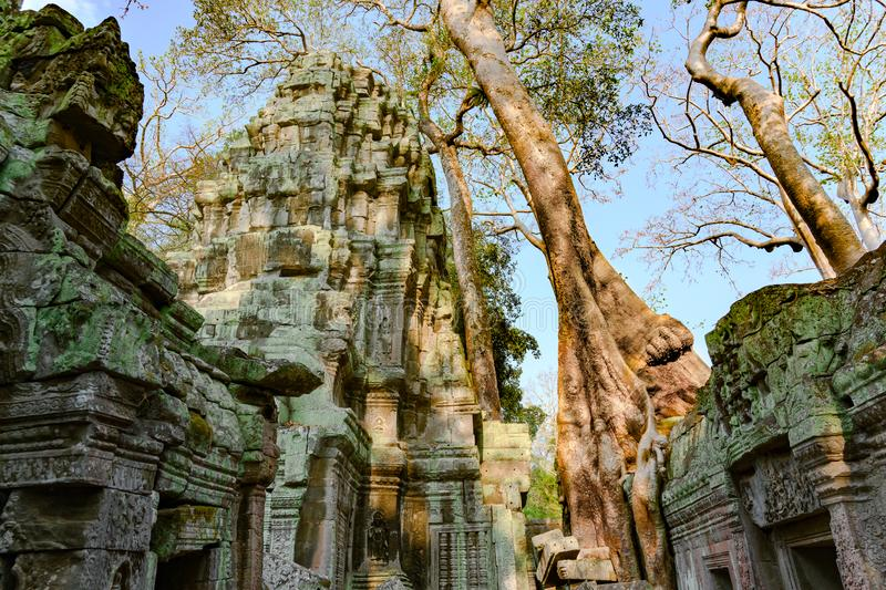Treat of demage from growing trees on Ta Prohm Temple, Angkor, Siem Reap, Cambodia. Big roots over the walls of a temple. Ancient buddhist temple in cambodian royalty free stock images