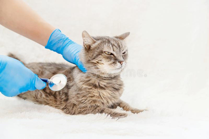 Treatment of a cat, a phonendoscope in the hands of a doctor. selective focus. Treatment of a cat, a phonendoscope in the hands of a doctor. veterinary medicine royalty free stock photos