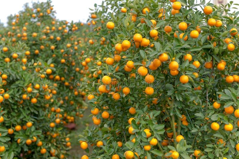Tree's do Kumquat para a decoração durante o ano novo lunar em Vietname fotos de stock royalty free