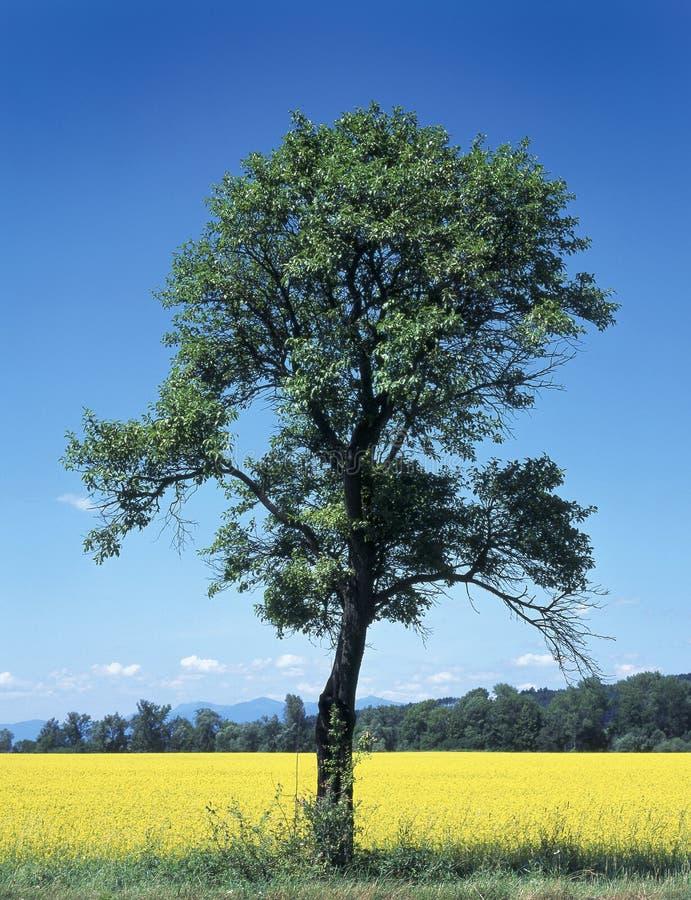 Download Tree stock photo. Image of area, blue, foliage, yellow - 1318558