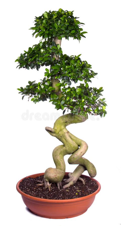 Tree. Bonsai tree potted plants, isolated on white background royalty free stock photo