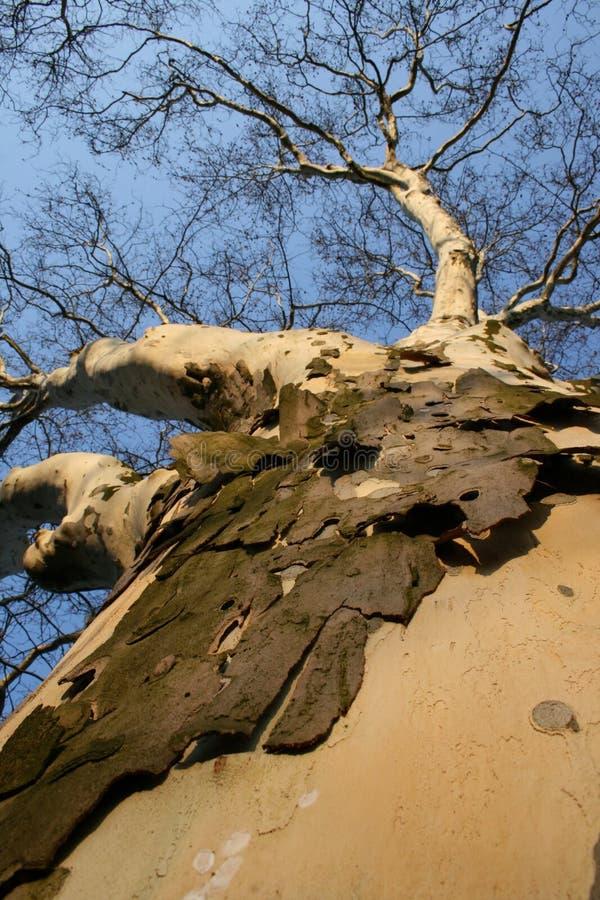 Free Tree Royalty Free Stock Photo - 2180325