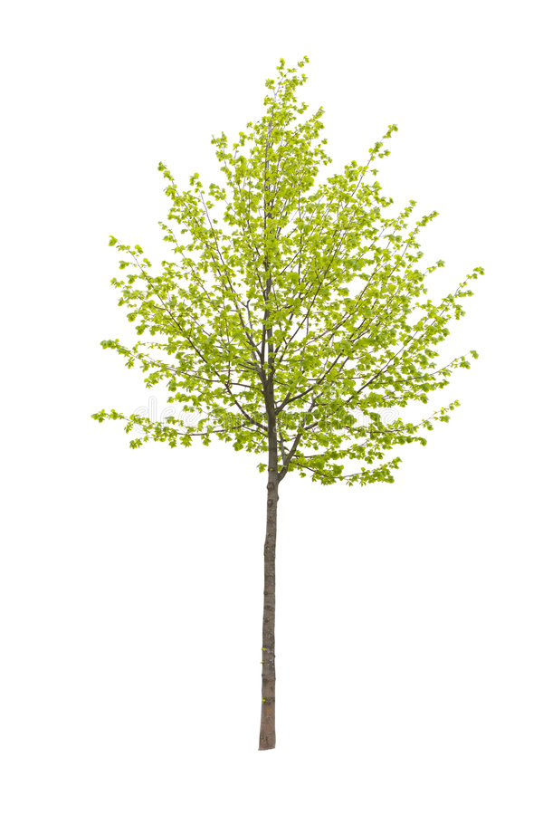 Tree. Young tree isolated on a white background stock image