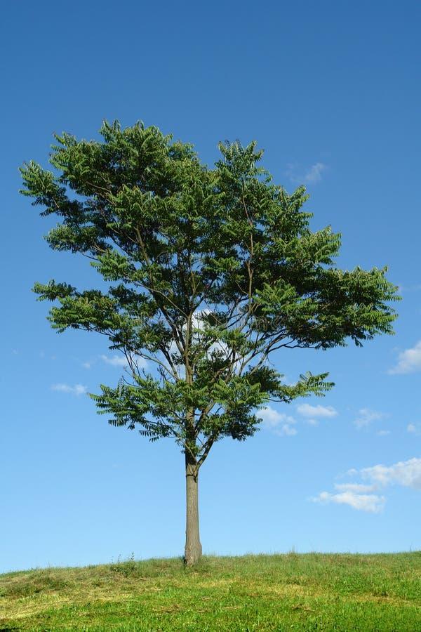 Free Tree Royalty Free Stock Photography - 2937447