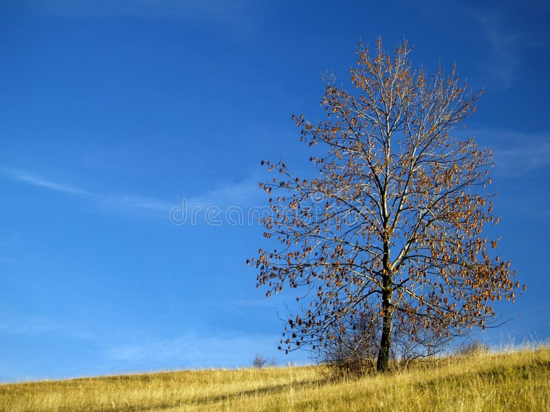 Tree. With few leaves in meadow against blue sky royalty free stock images