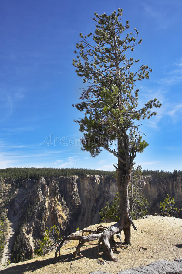 Tree on abrupt breakage. Of the river Yellowstone stock images