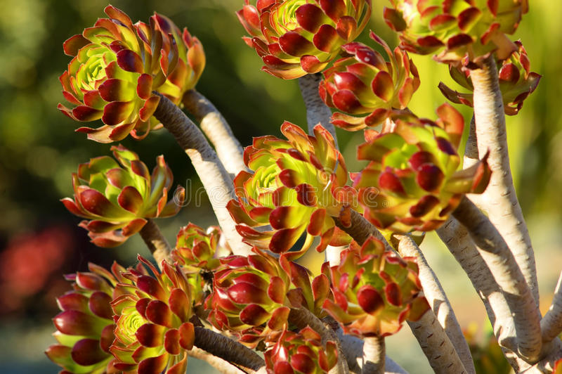 Download The Tree Aeonium stock image. Image of crassulaceae, black - 18015469