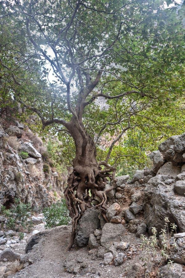Tree Agia Irini Gorge Canyon, Crete, Greece stock photography