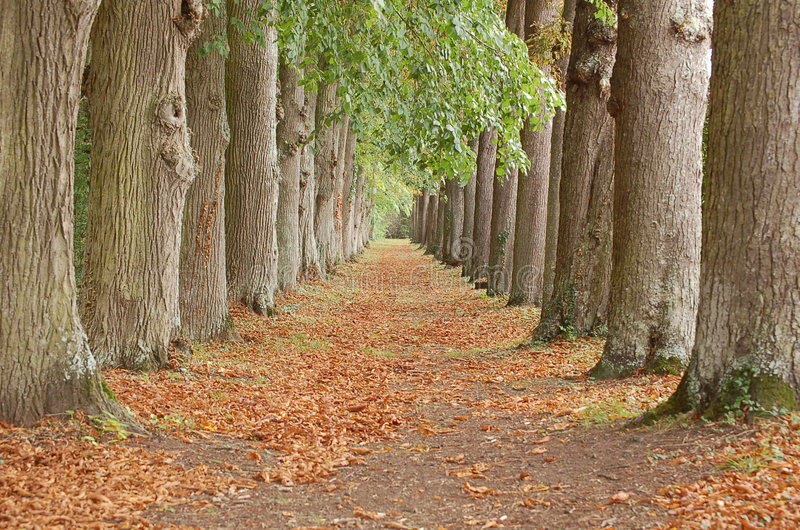 Tree alley perspective royalty free stock photo