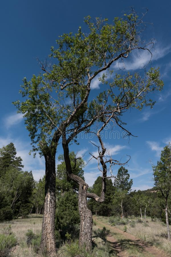A tree along the Largo Trail in New Mexico royalty free stock images